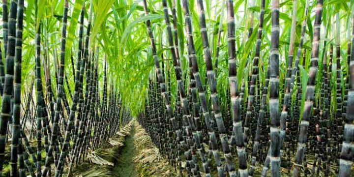 Sugercane-Farming-Nigeria.jpg