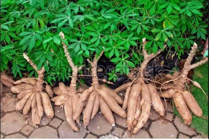 U.S. Company Partners With CBN To Improve Cassava Production And Processing In Nigeria