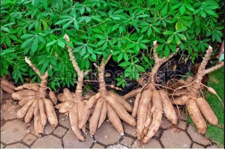 cassava1.jpg