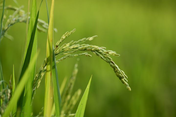 dollarphotoclub_72781639_rice-plant-closeup_resized.jpg