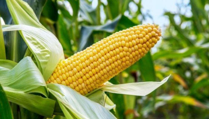 maize-750x430.jpg