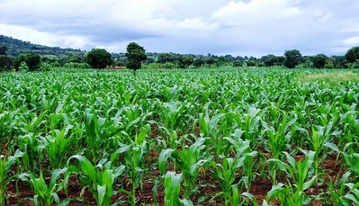 maize-plantation.jpg